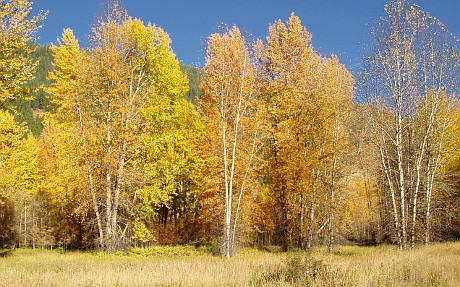 Black Cottonwoods at foot of main Street